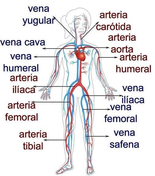 venas arterias y capilares