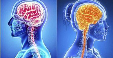 Cerebro de la mujer y el Cerebro del hombre