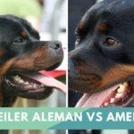Rottweiler Alemán y Americano