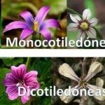 Monocotiledóneas y Dicotiledóneas