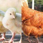 Pollo y Gallina