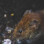 ¿Cuál es la Diferencia entre Rata y Ratón? Te lo explicamos todo